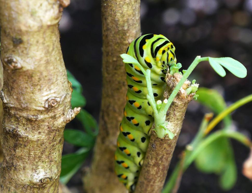 Download Free Stock Photo of Eastern Swallowtail Caterpillar on Common Rue Plant