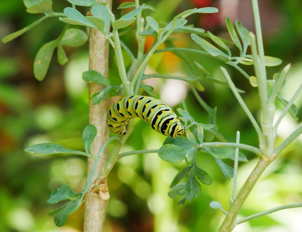 Download Free Stock Photo of American Swallowtail Caterpillar and Common Rue Plant
