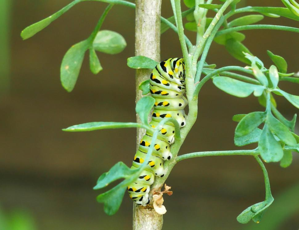 Download Free Stock HD Photo of Eastern Swallowtail Caterpillar Climbing Common Rue Plant Online