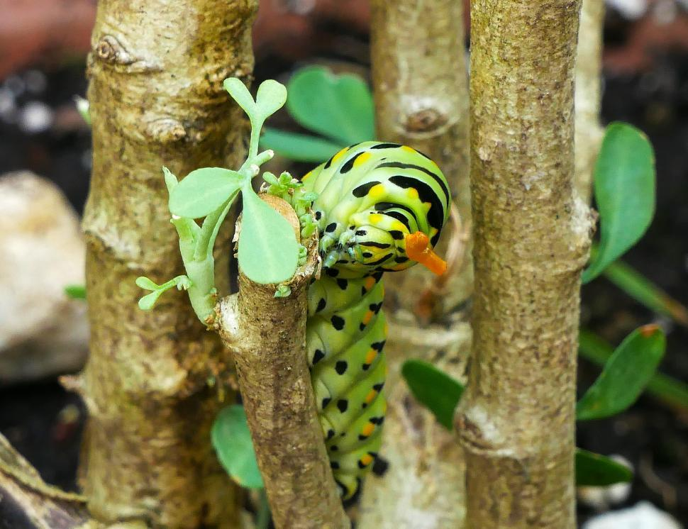 Download Free Stock Photo of Eastern Swallowtail Caterpillar Feeding on Common Rue Plant