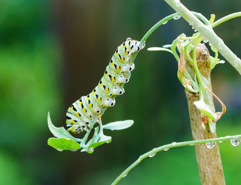 Download Free Stock Photo of American Swallowtail Caterpillar Hangs on Rue Plant