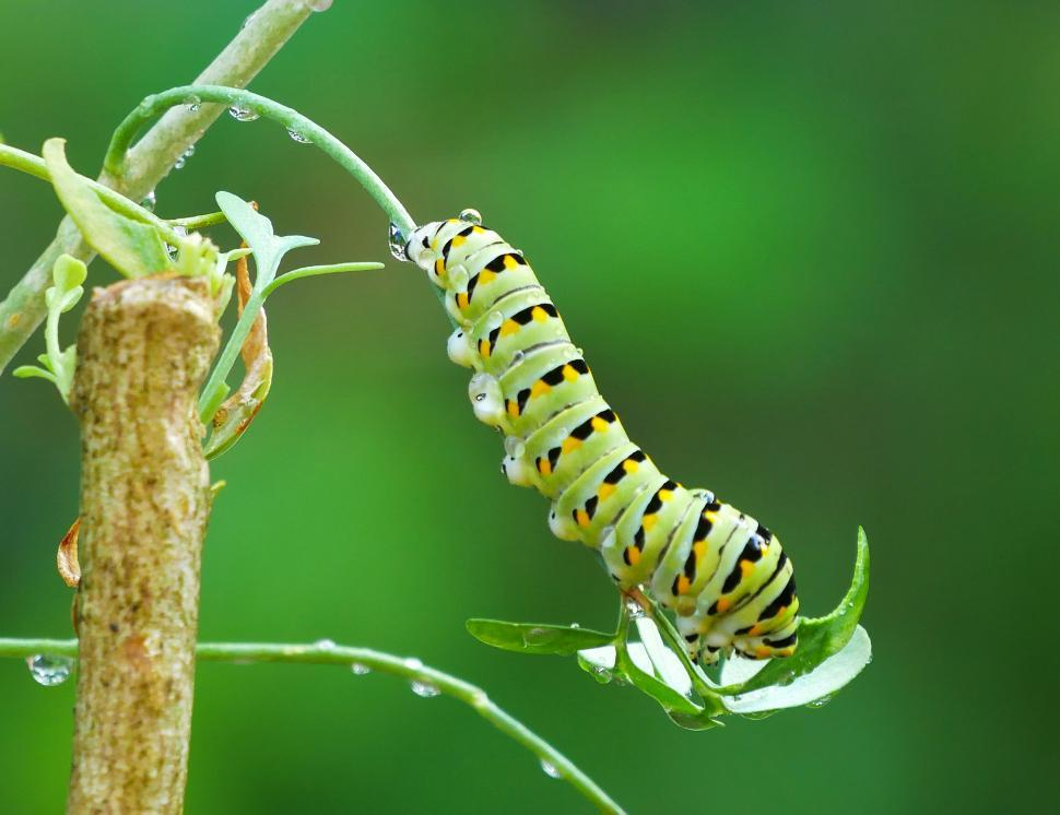 Download Free Stock Photo of American Swallowtail Larvae and Rue Plant