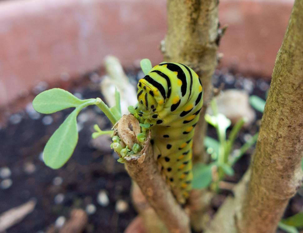 Download Free Stock Photo of American Swallowtail Caterpillar Eating New Leaves