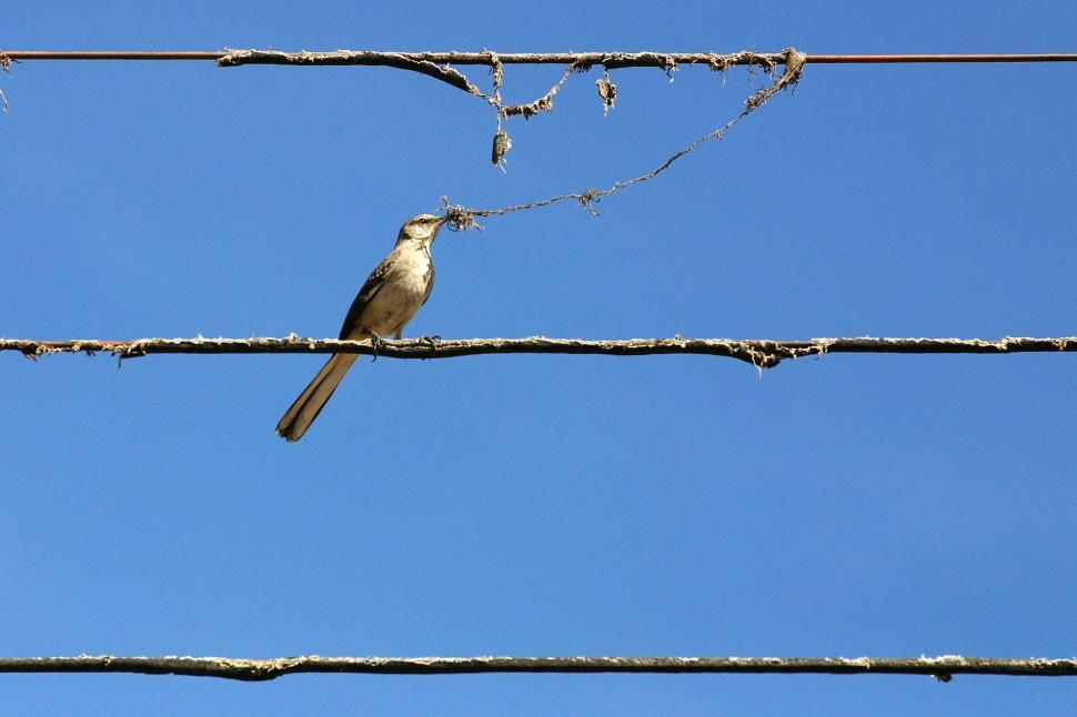 Download Free Stock Photo of Bird holding insulation on phone wire