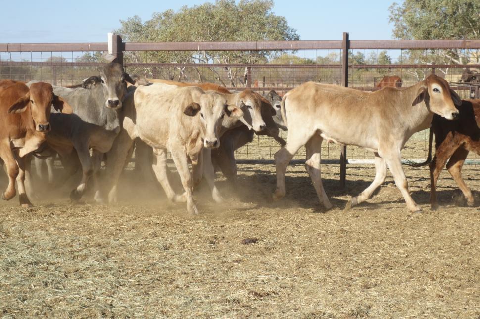 Download Free Stock HD Photo of Herd of Brahman Cattle  Online