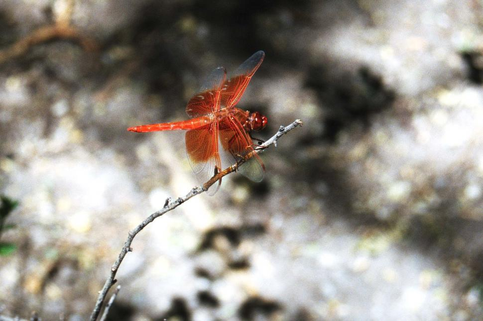 Download Free Stock Photo of Dragonfly on a branch