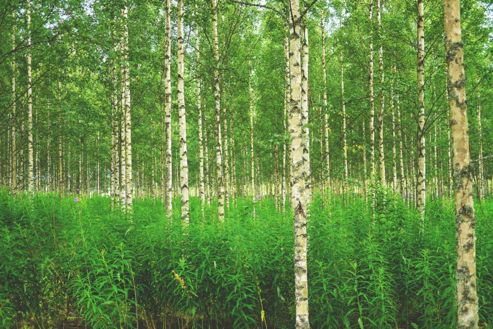 Download Free Stock HD Photo of Birch Forest  Online