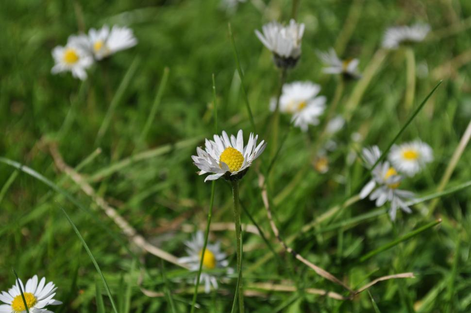 Download Free Stock HD Photo of Daisies in the wind Online