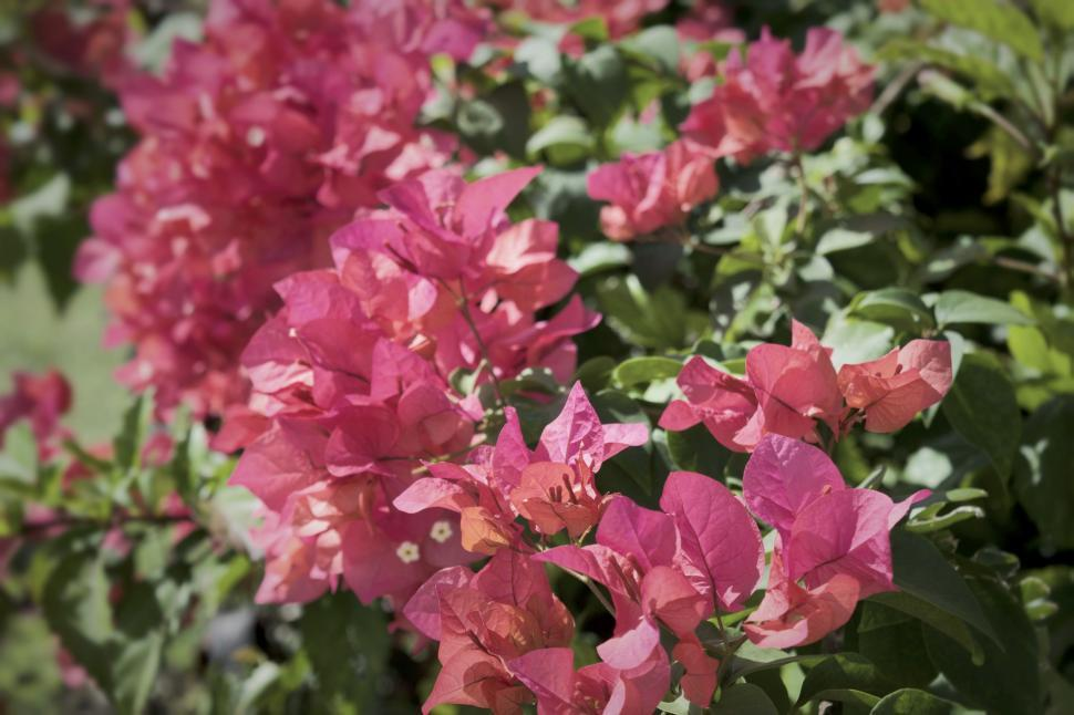 Download Free Stock Photo of Bush of bougainvillea flowers