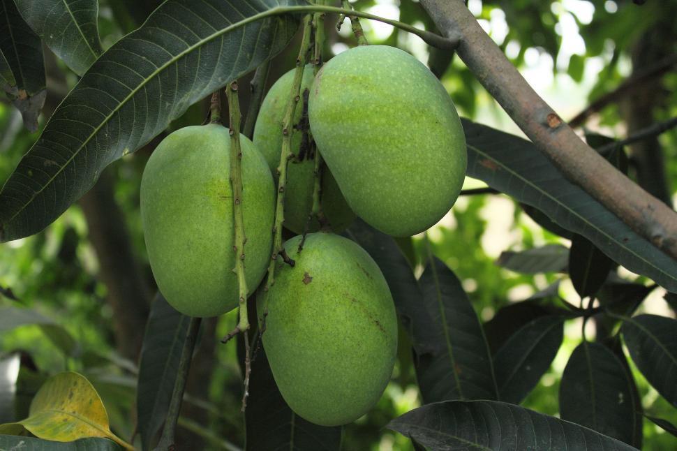Download Free Stock Photo of Mango Tree