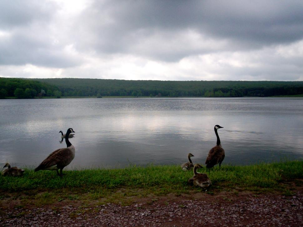 Download Free Stock HD Photo of Geese on a cloudy day Online