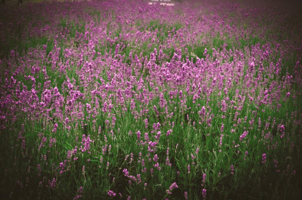 Download Free Stock HD Photo of Garden of Lavender Flowers  Online