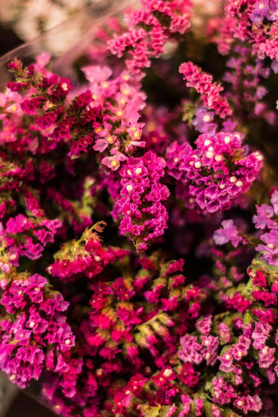 Download Free Stock Photo of Pink Flowers