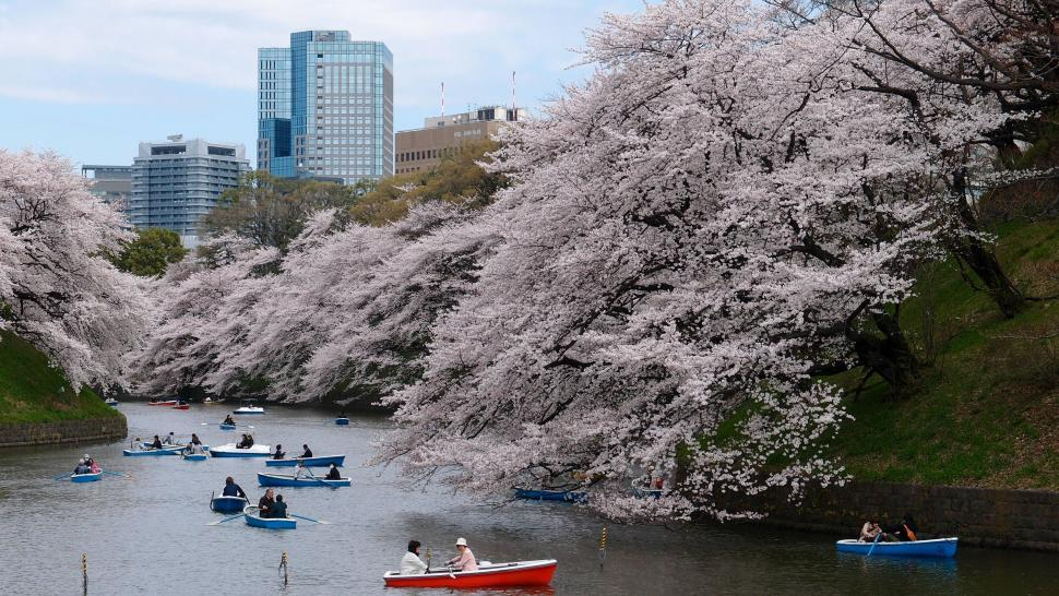 Download Free Stock Photo of Cherry blossom in Tokyo