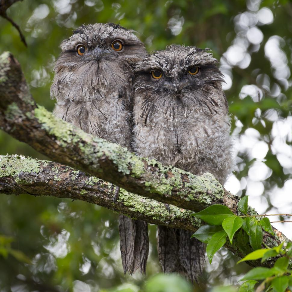 Download Free Stock Photo of Two Owls looking at camera