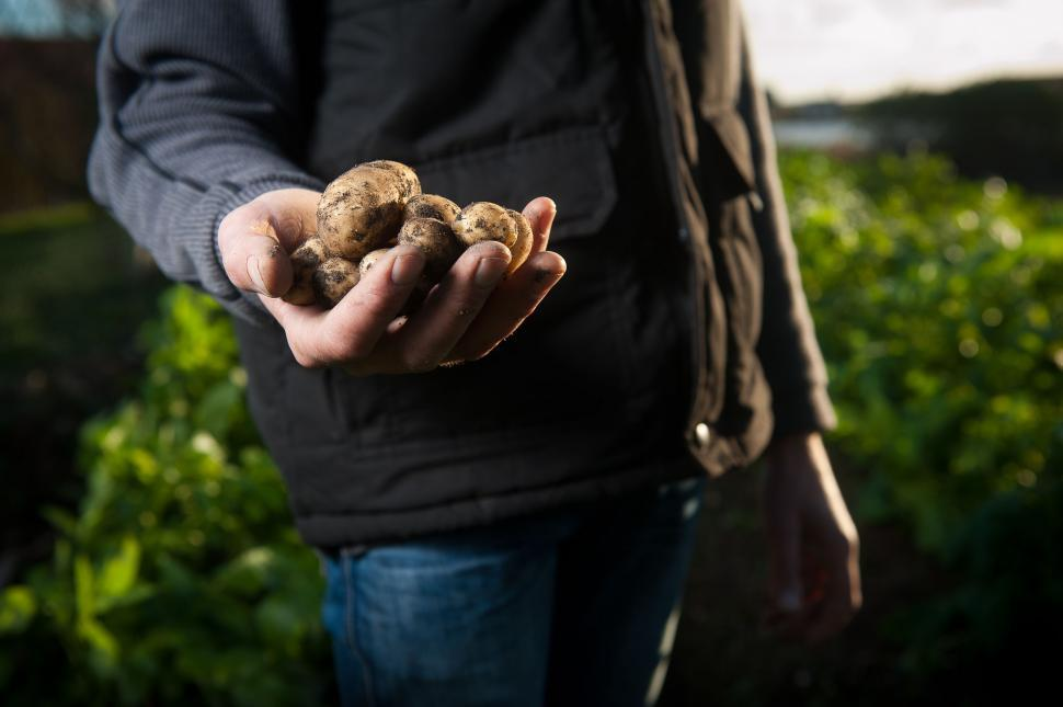 Download Free Stock HD Photo of Potatoes in Hand Online
