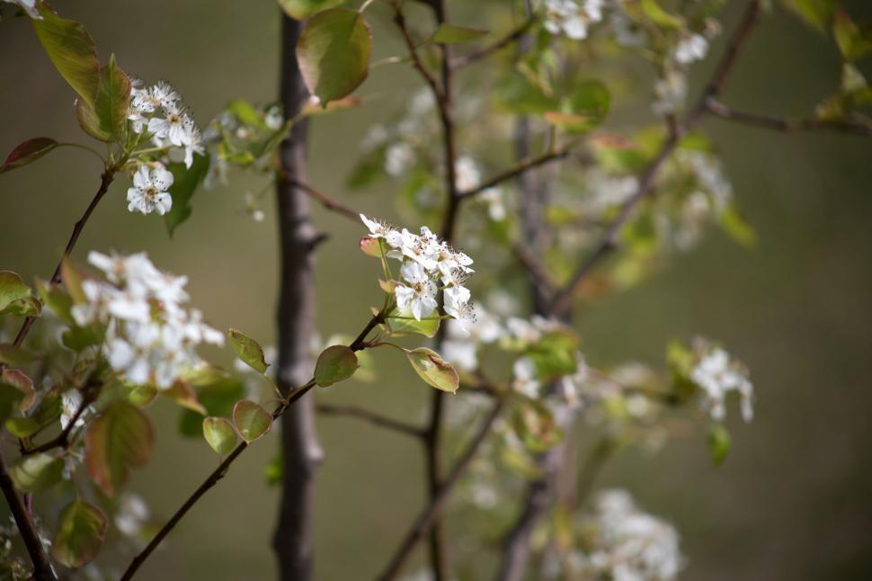 Download Free Stock Photo of White Flowers