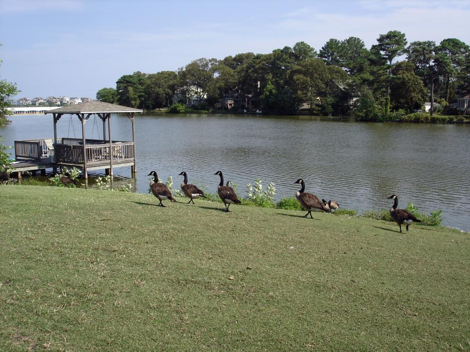 Download Free Stock HD Photo of Lake view with geese Online