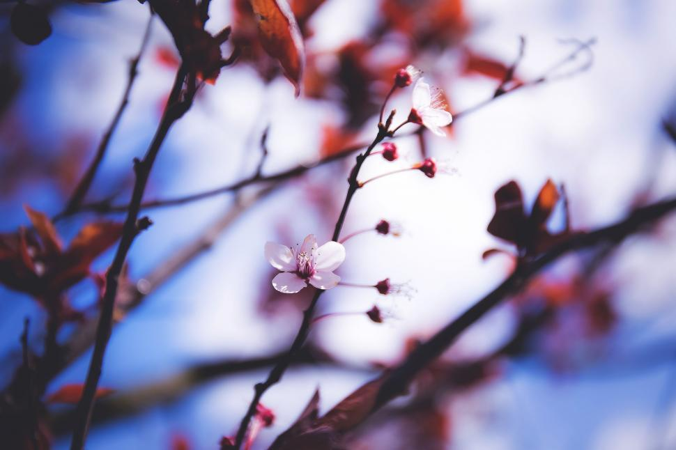 Download Free Stock Photo of Cherry Blossom
