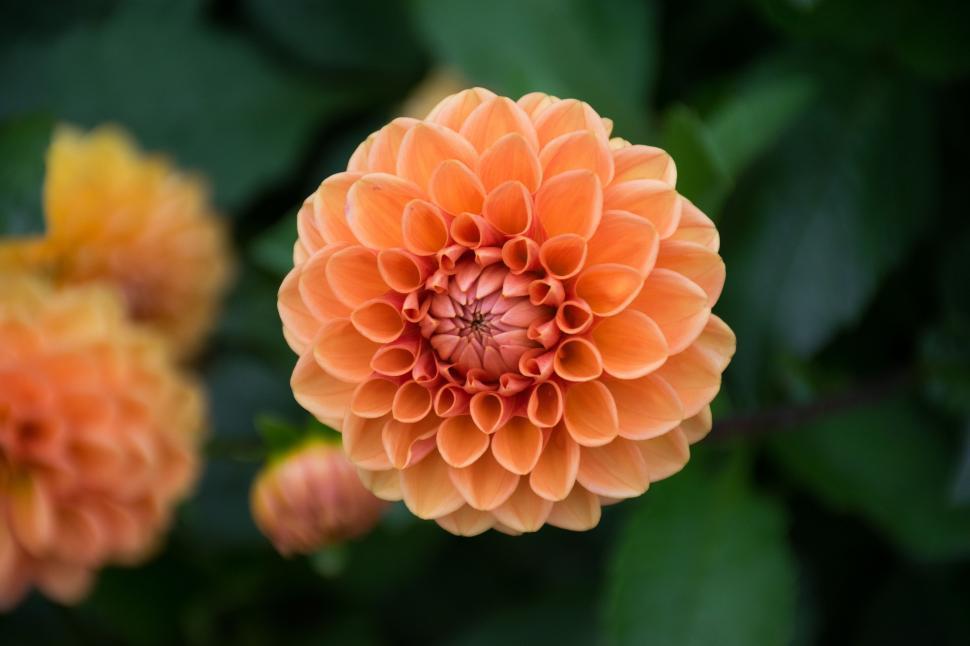 Download Free Stock Photo of Dahlia flower