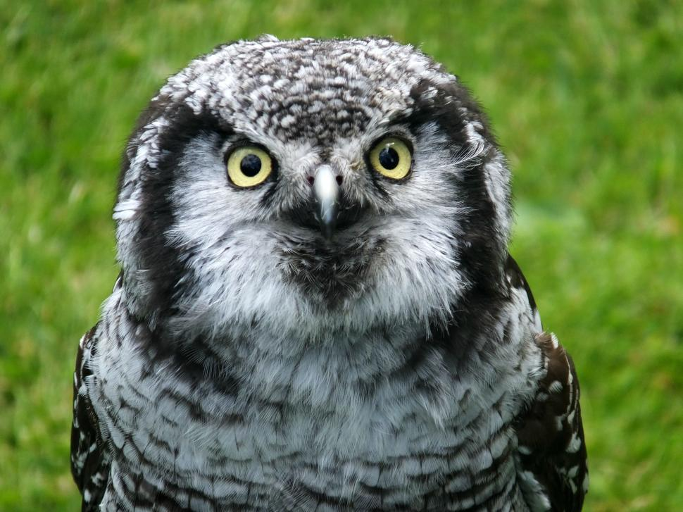 Download Free Stock Photo of Owl - eye contact