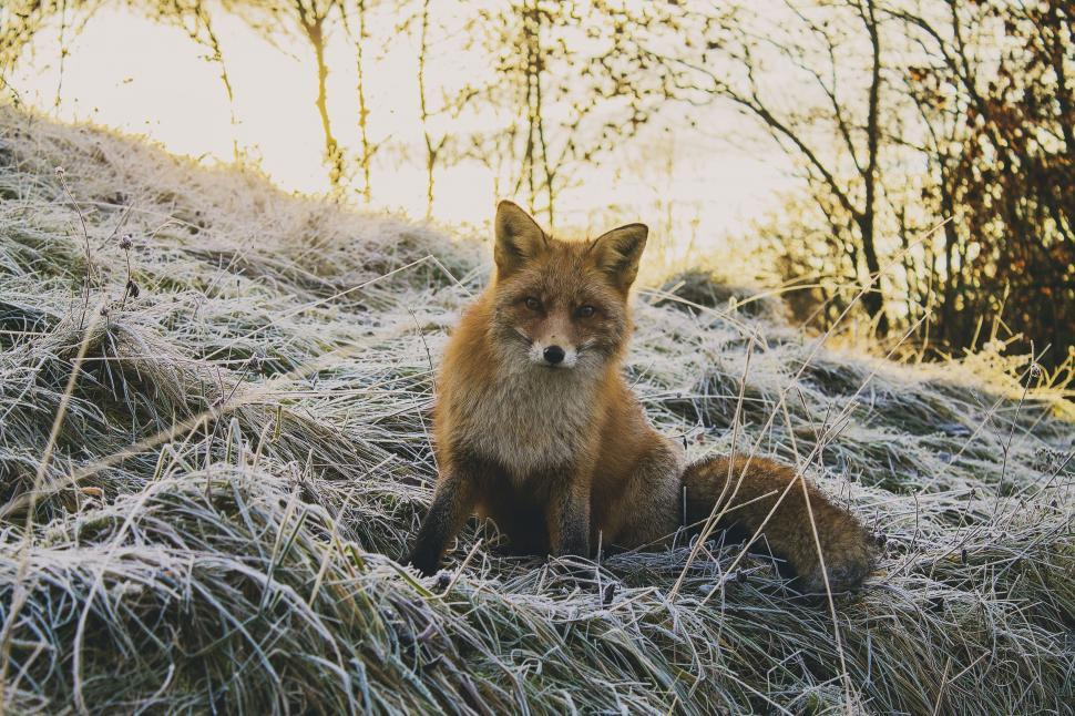 Download Free Stock Photo of One Red fox