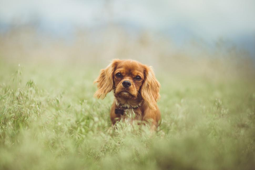 Download Free Stock Photo of Cavalier King Charles Spaniel Dog