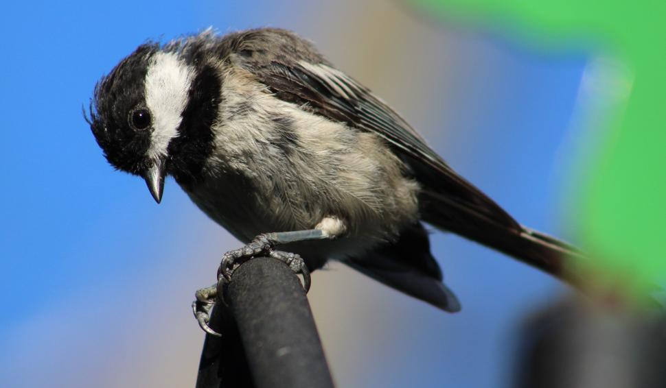 Download Free Stock Photo of Black-capped chickadee