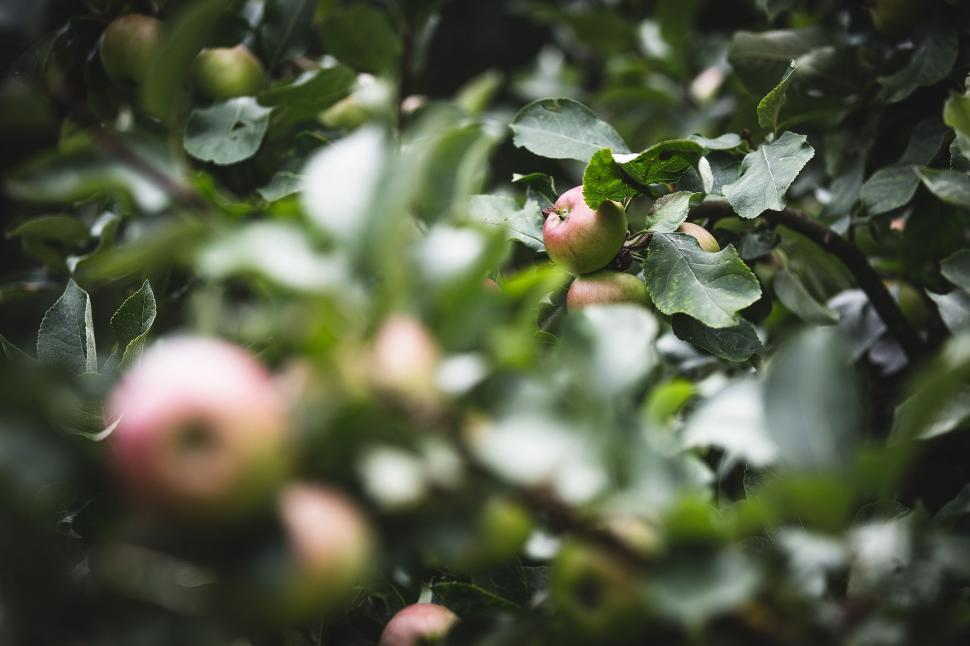 Download Free Stock Photo of Apple Tree with green leaves