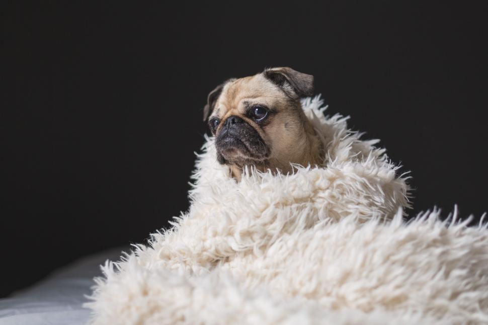 Download Free Stock Photo of Dog in blanket