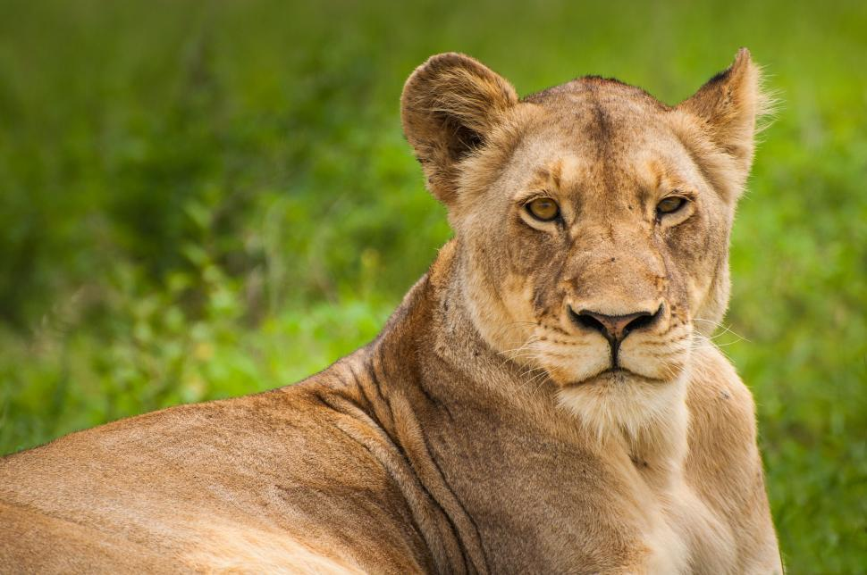 Download Free Stock Photo of Lioness - Eye Contact
