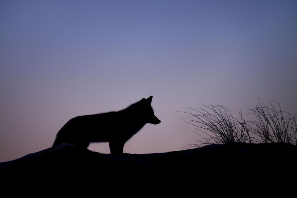 Download Free Stock Photo of Silhouette of Fox