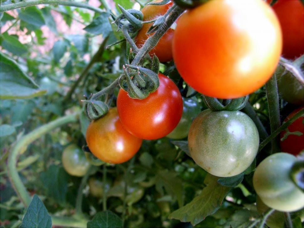 Download Free Stock Photo of Food - Tomatoes