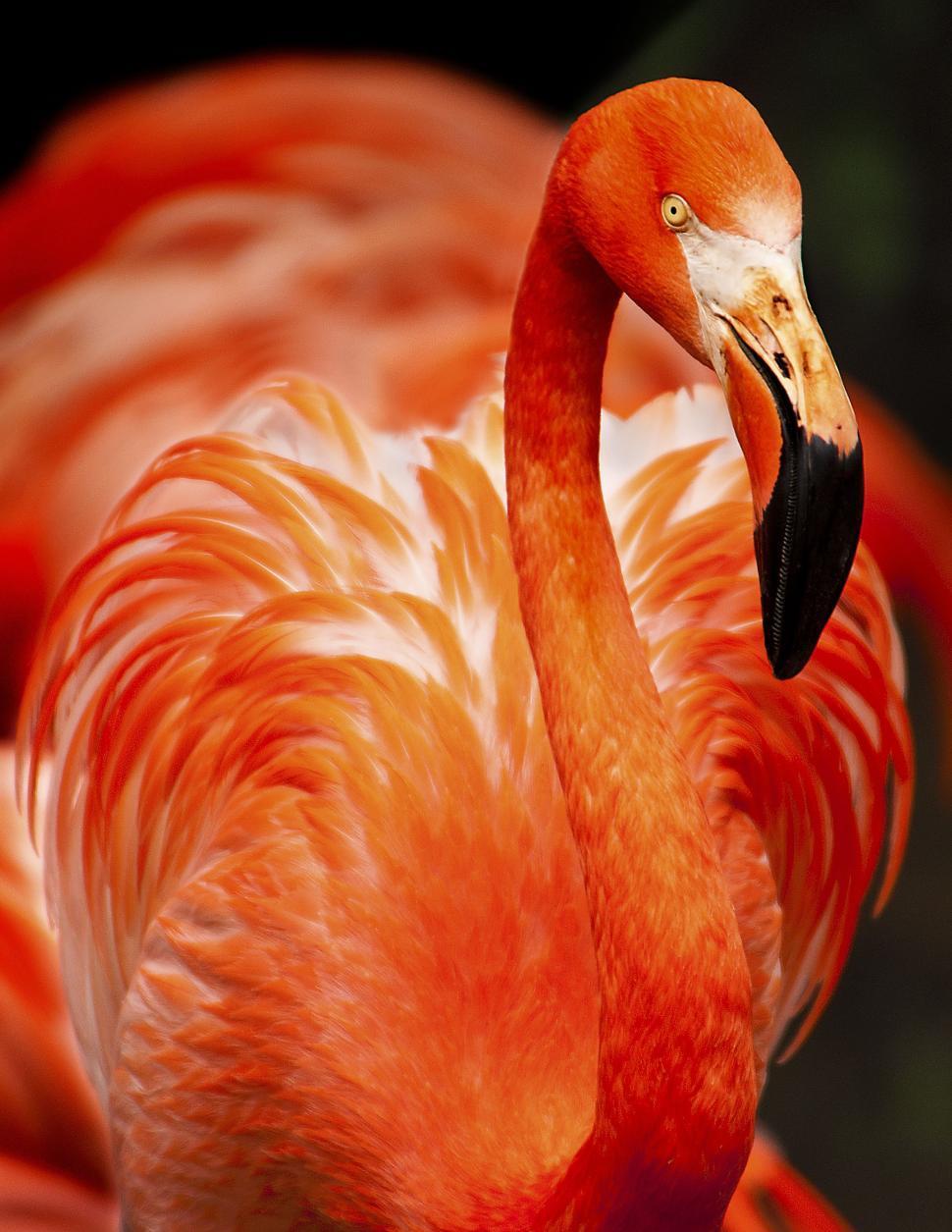 Download Free Stock Photo of American flamingo