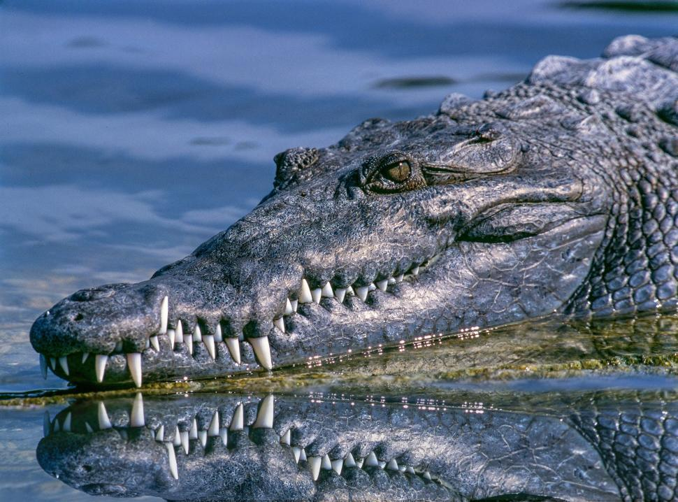 Download Free Stock Photo of Alligator teeth
