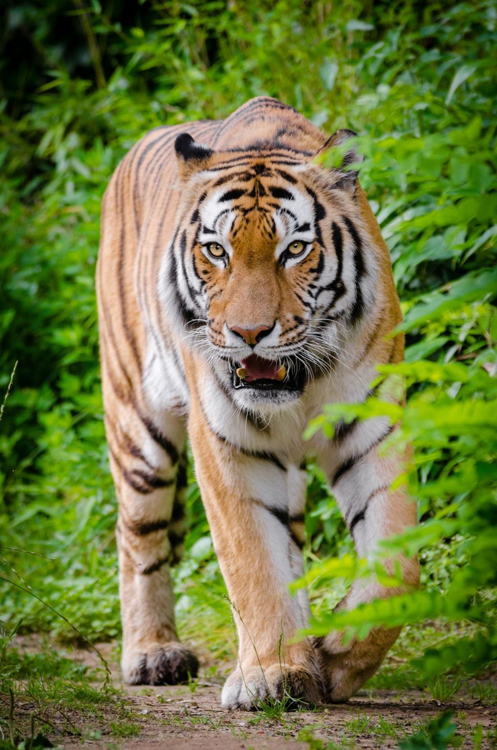 Download Free Stock Photo of Single Tiger