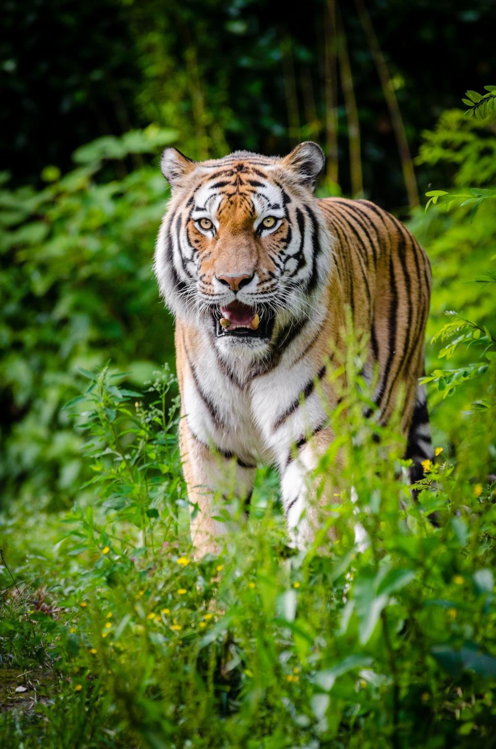Download Free Stock Photo of View of Staring Tiger