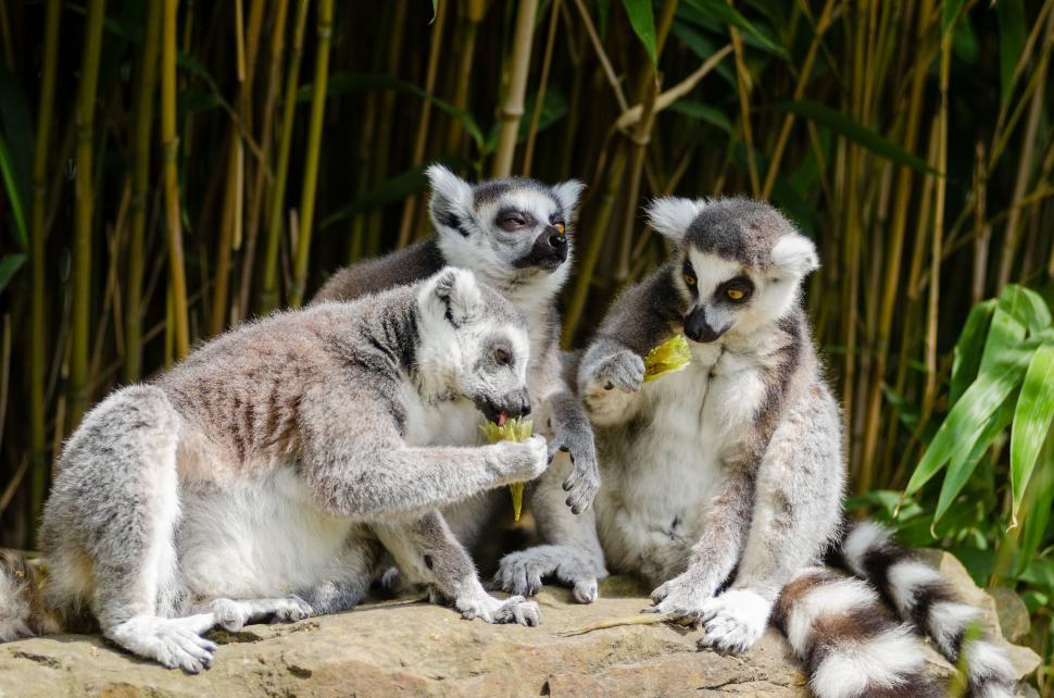 Download Free Stock Photo of Group of Lemur