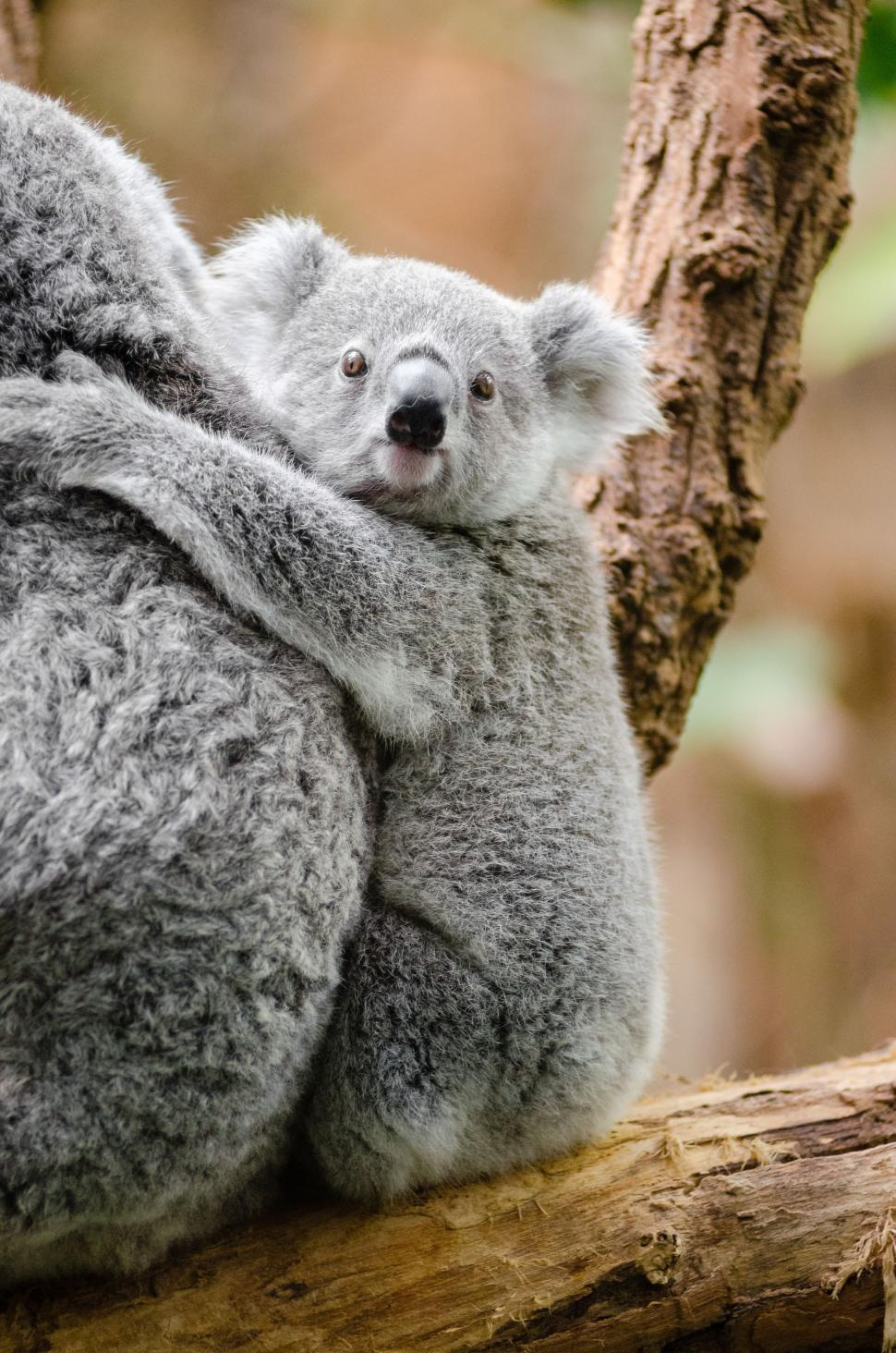 Download Free Stock Photo of Hugging Koala