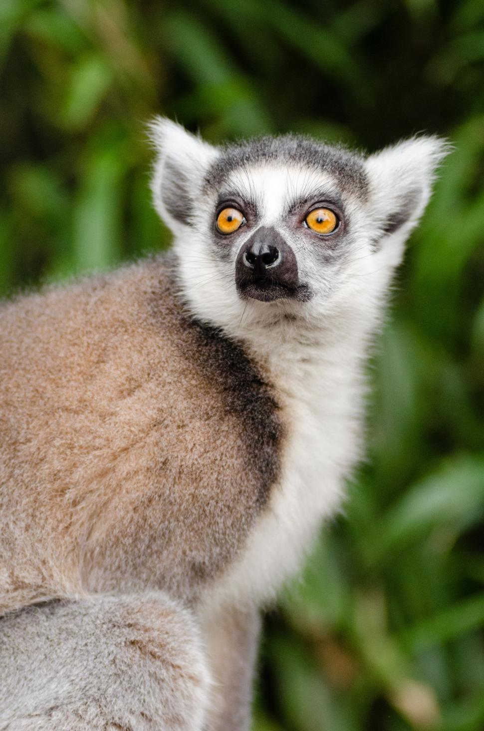 Download Free Stock Photo of Ring-tailed lemur with yellow eyes