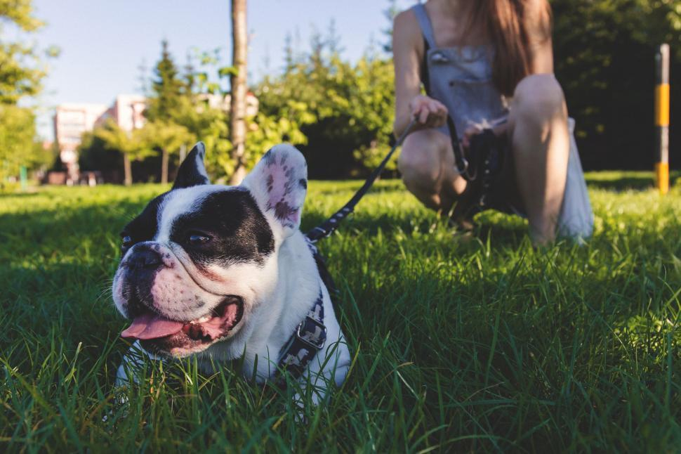Download Free Stock Photo of French Bulldog