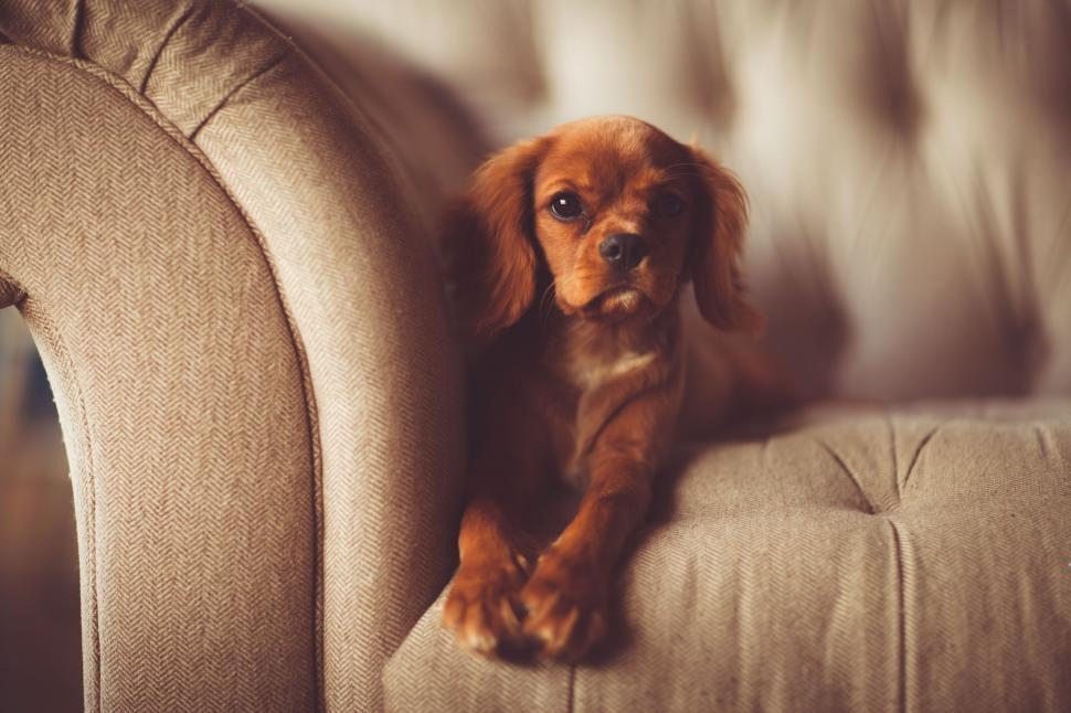 Download Free Stock Photo of Dog on couch looking at camera
