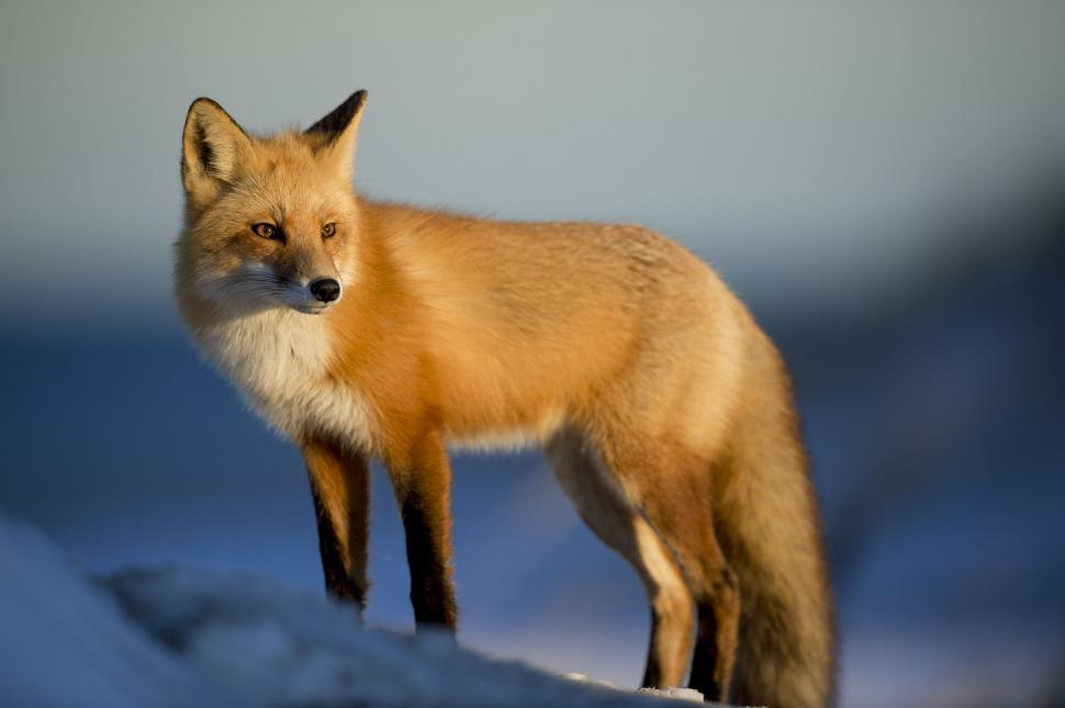 Download Free Stock Photo of Red fox (animal)
