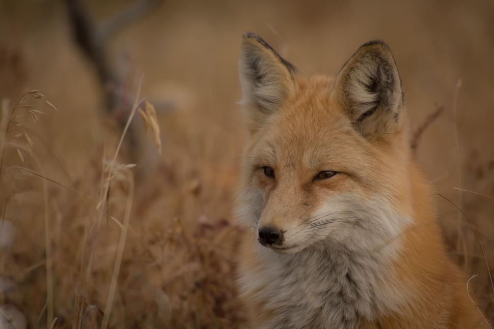Download Free Stock Photo of Red fox
