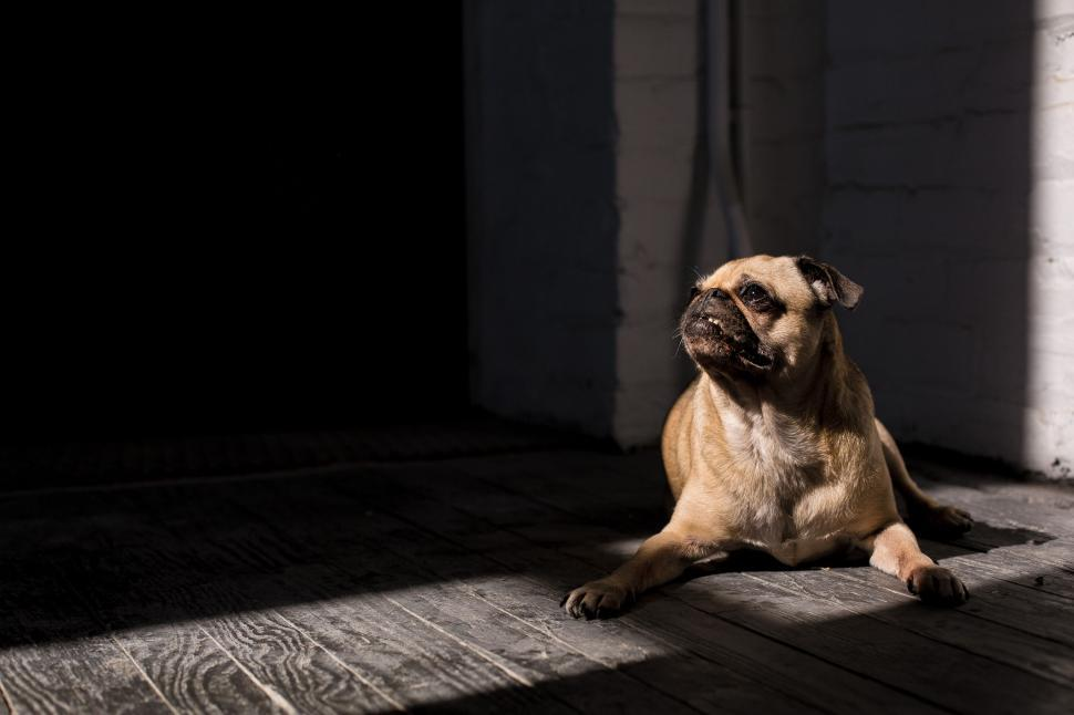 Download Free Stock Photo of Pug Dog