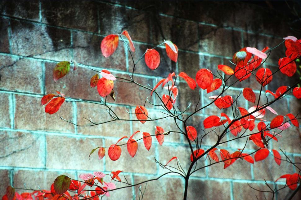 Download Free Stock Photo of Red leaves over block wall