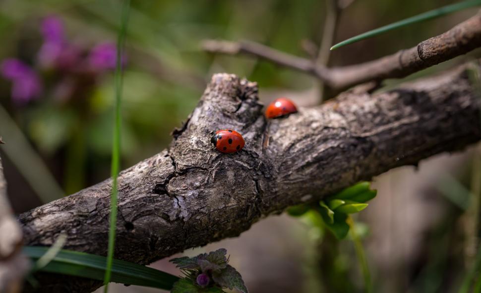Download Free Stock Photo of Ladybird beetles