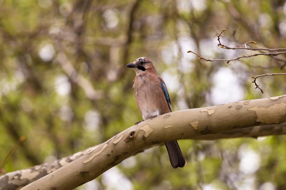 Download Free Stock Photo of Eurasian jay