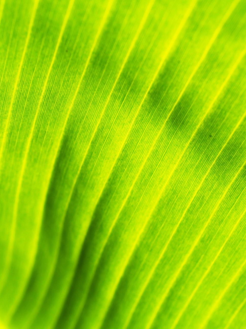 Download Free Stock Photo of Banana Leaf - Texture
