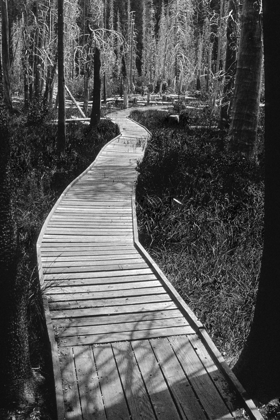 Download Free Stock Photo of Boardwalk through marsh, black and white